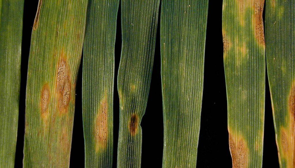 1800 Septoria leaf blotch DSCN6720
