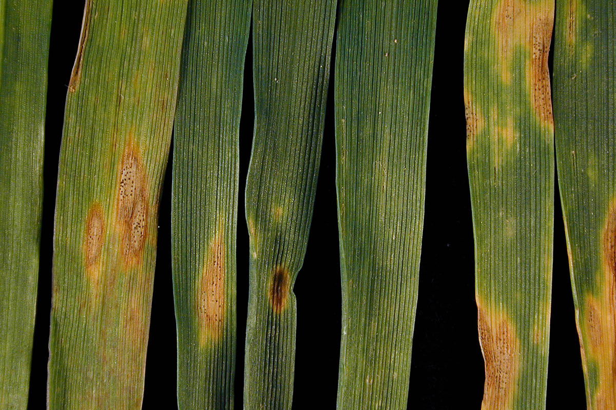 1800 Septoria leaf blotch DSCN6720