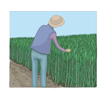 designing_future_wheat_breeders