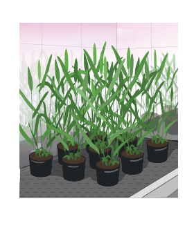 designing_future_wheat_speed_breeding
